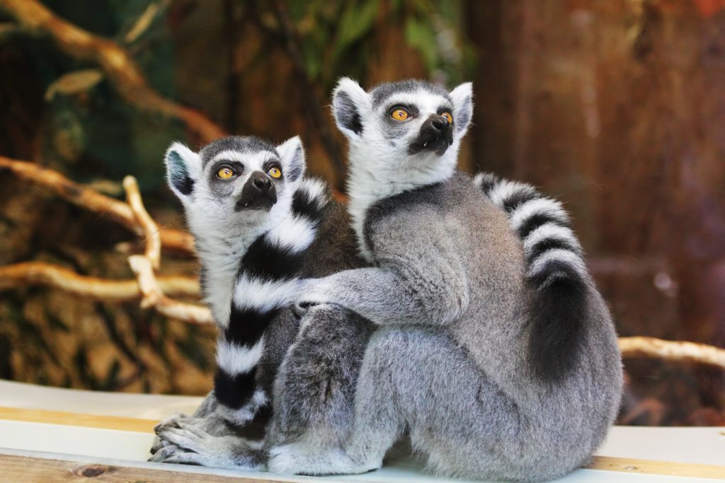 a couple lemurs